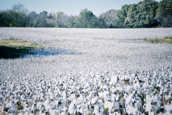 champ de coton USA